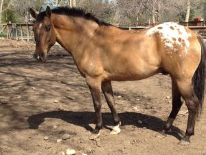 Buck, a 16 hand gelding, was the last colt born at my Texas farm - Hawkeye's half-brother.