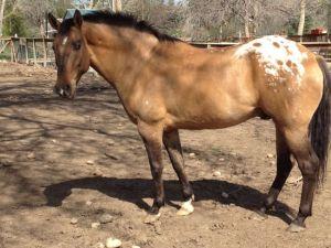 Buck, a 16 hand gelding, was the last colt born at my Texas farm - Hawkeye's half-brother.
