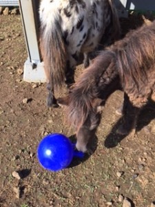 Java checks out her new ball.