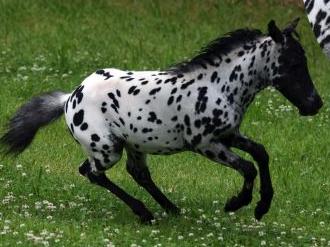 miniature horse – Mini-horses in Hawaii
