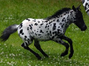 A full leopard Appaloosa coat pattern shown by Toyland Comanche (photo from Toyland Minihorse Farm site)